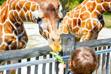 Little kid boy watching and feeding giraffe in zoo. Happy child having fun with animals safari park on warm summer day. stock vector