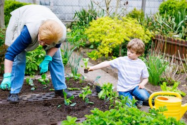 Cute little preschool kid boy and grandmother planting green salad in spring
