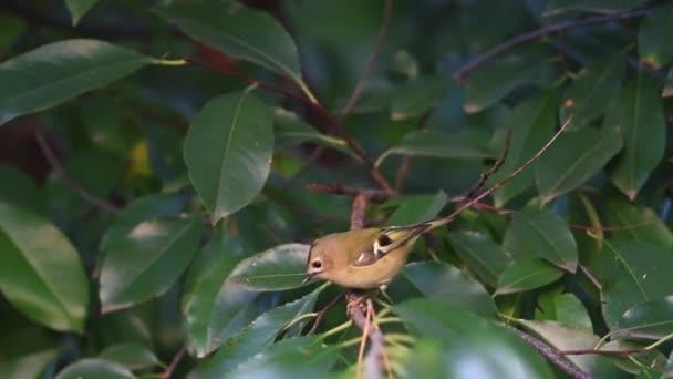 zöld levelek között Európa legkisebb madár