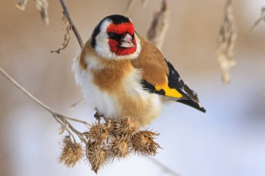 Goldfinch sitting on a burdock in winter sunny day