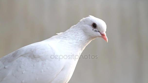 Fehér Galamb ül és nézi a kamera