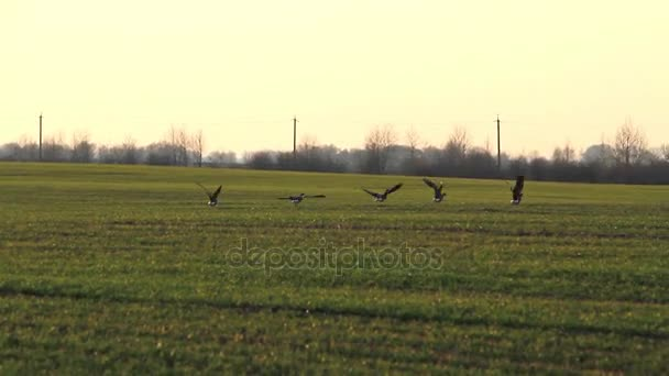 Wildgänse fliegen auf das Weizenfeld