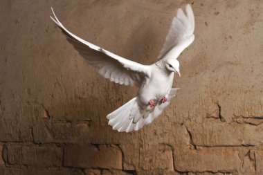 white dove flying against a background of an old brick wall