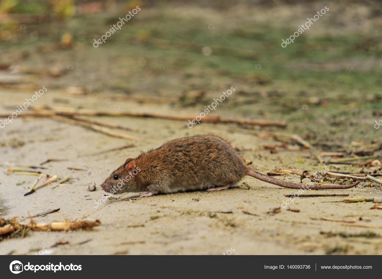 cinzento rato no lago de resíduos stock photo drakuliren 140093736