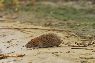 gray rat on the lake of waste