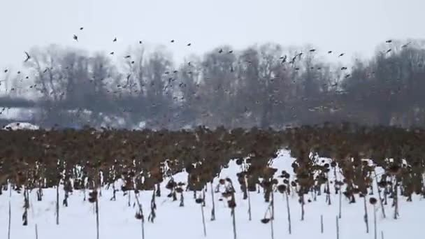 murmuration hejna zpěvných ptáků na obloze