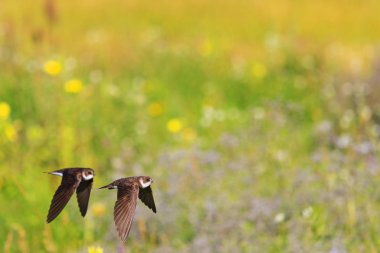 Two swallows flying in colored box
