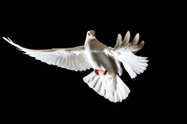 symbol of freedom white doves flying on a black background, symbol of peace, a white bird