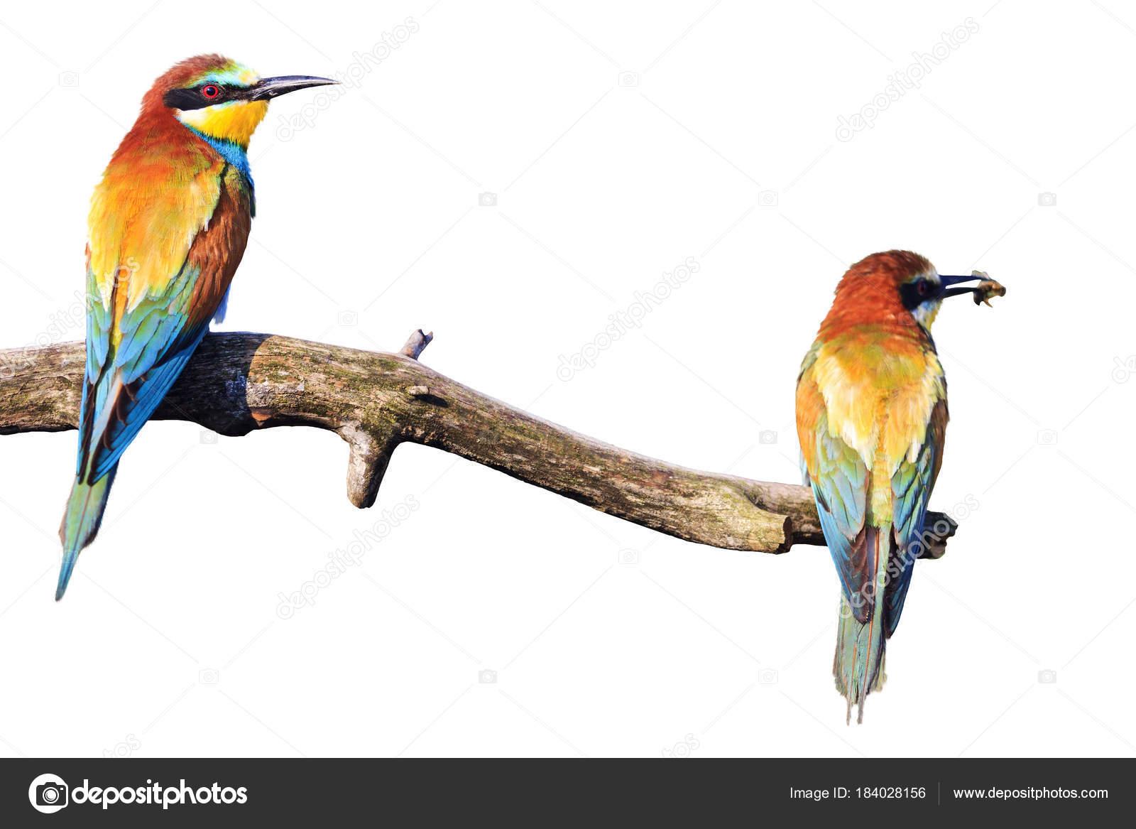 Paire Beaux Oiseaux Assis Sur Une Branche Isolee Sur Blancs