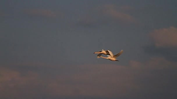 Schwäne fliegen schnell durch einen schönen Himmel