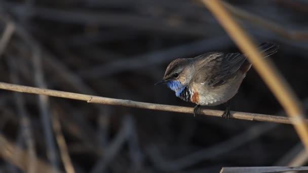 beautiful blue-throated bird sings a song