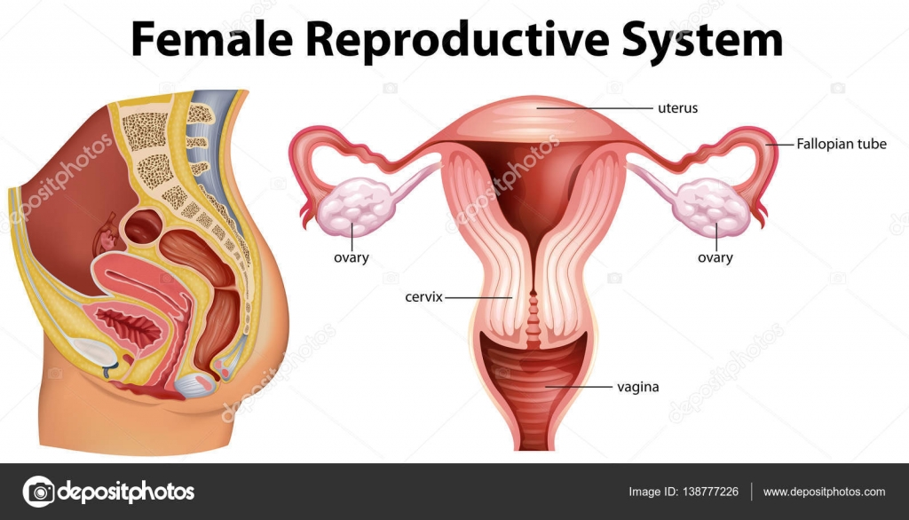 Diagram Showing Female Reproductive System Stock Vector