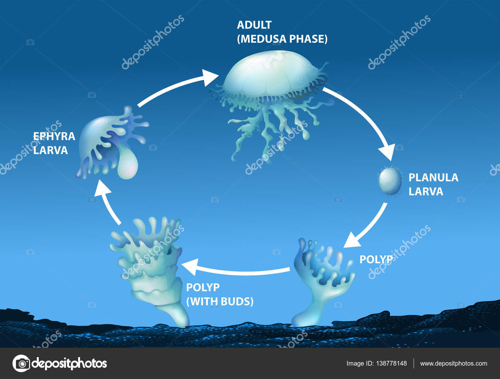 Jellyfish Life Cycle Diagram - Introduction To Electrical Wiring ...