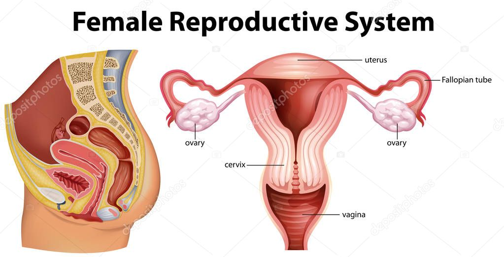 diagram showing female reproductive system stock vector. Black Bedroom Furniture Sets. Home Design Ideas