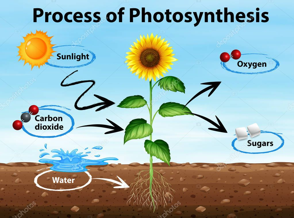 Diagram showing process of photosynthesis