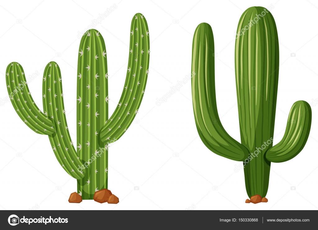 Dos tipos de plantas de cactus vector de stock for Clases de cactus