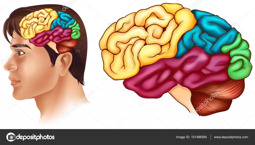 Diagrama que muestra diferentes partes del cerebro humano — Archivo ...