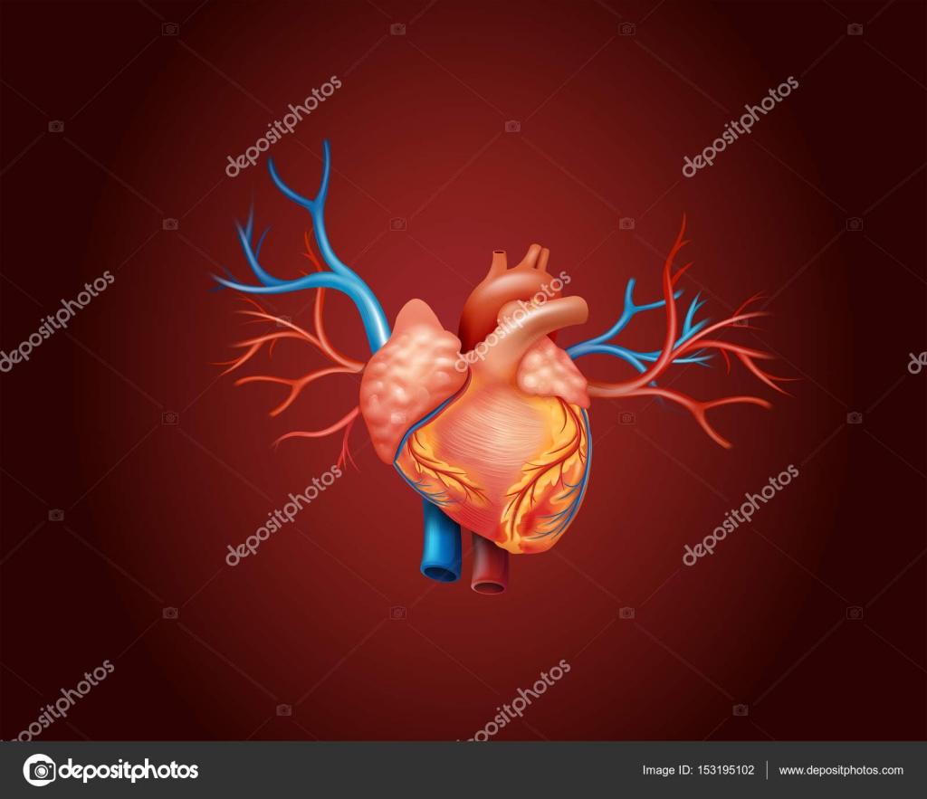 Diagrama que muestra el corazón humano — Vector de stock ...