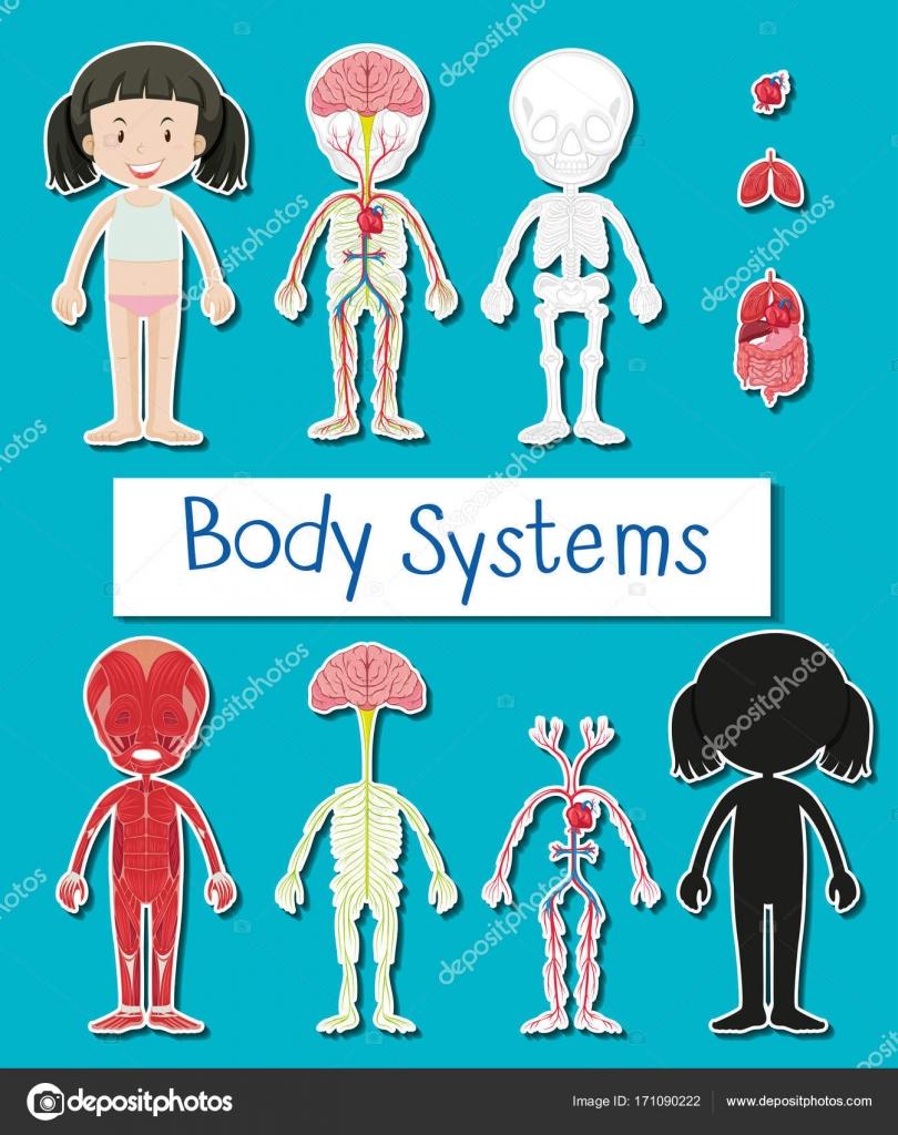 Das Diagramm zeigt die verschiedenen Körpersysteme des menschlichen ...