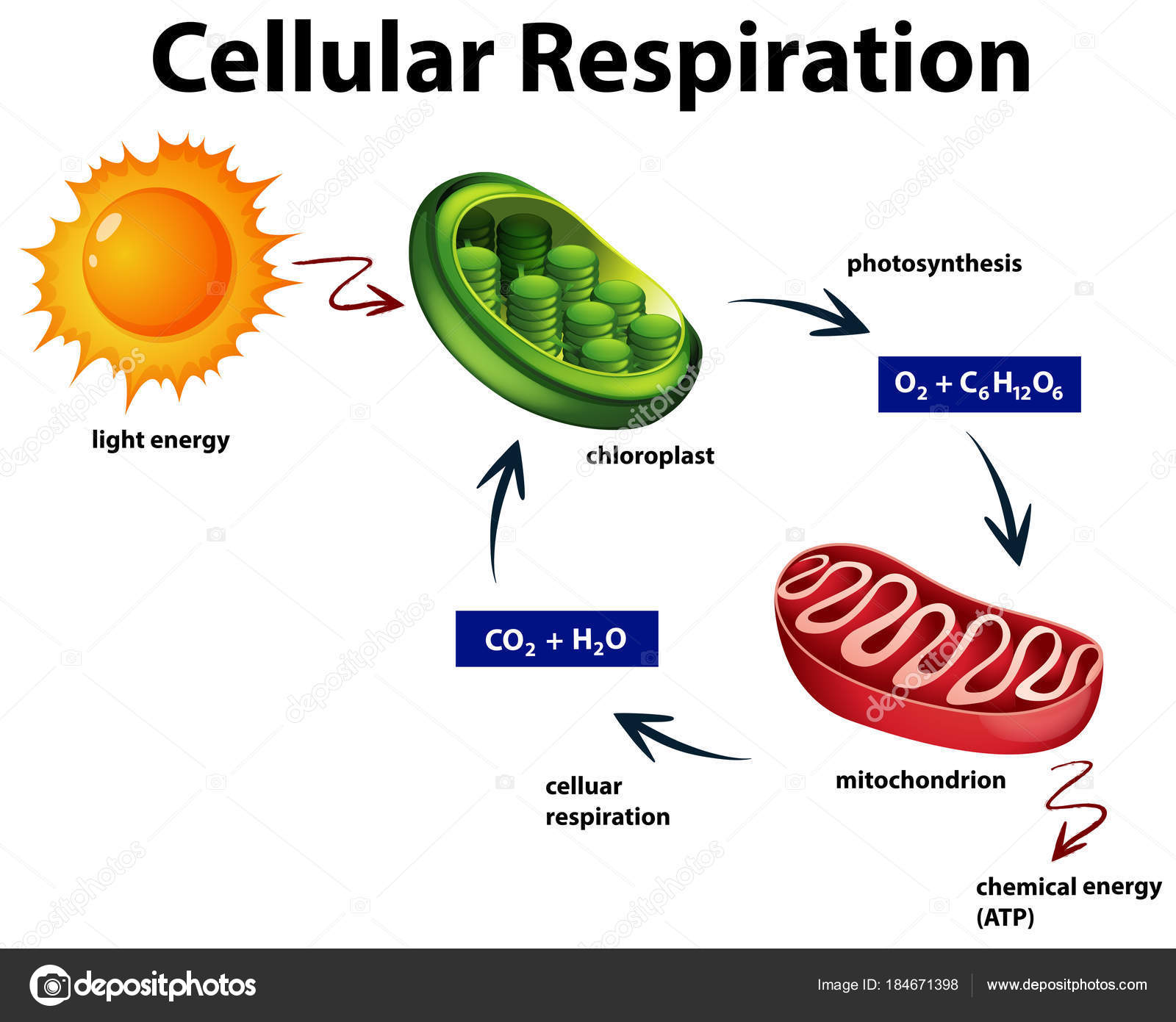 basic diagram of cellular respiration image collections
