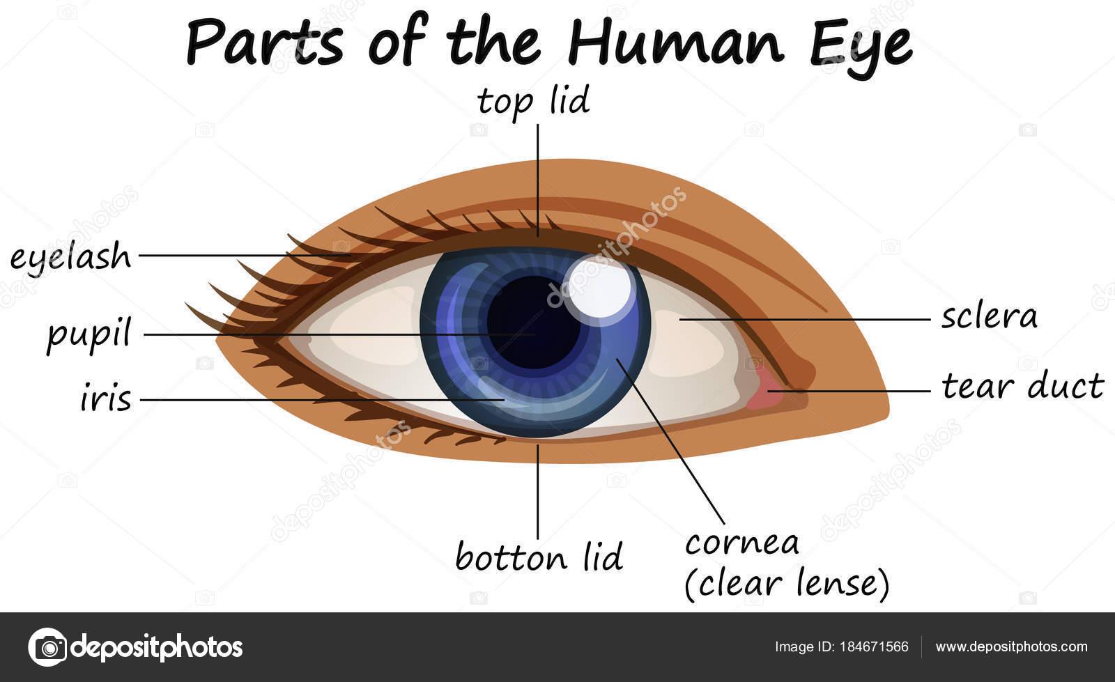 Das Diagramm zeigt Teile des menschlichen Auges — Stockvektor ...
