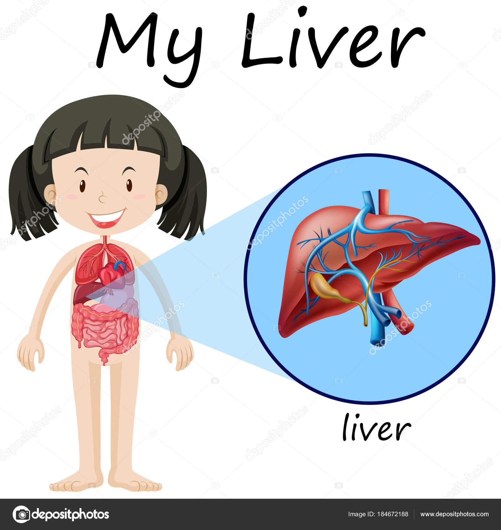Diagrama de la anatomía humana con la chica y el hígado — Vector de ...