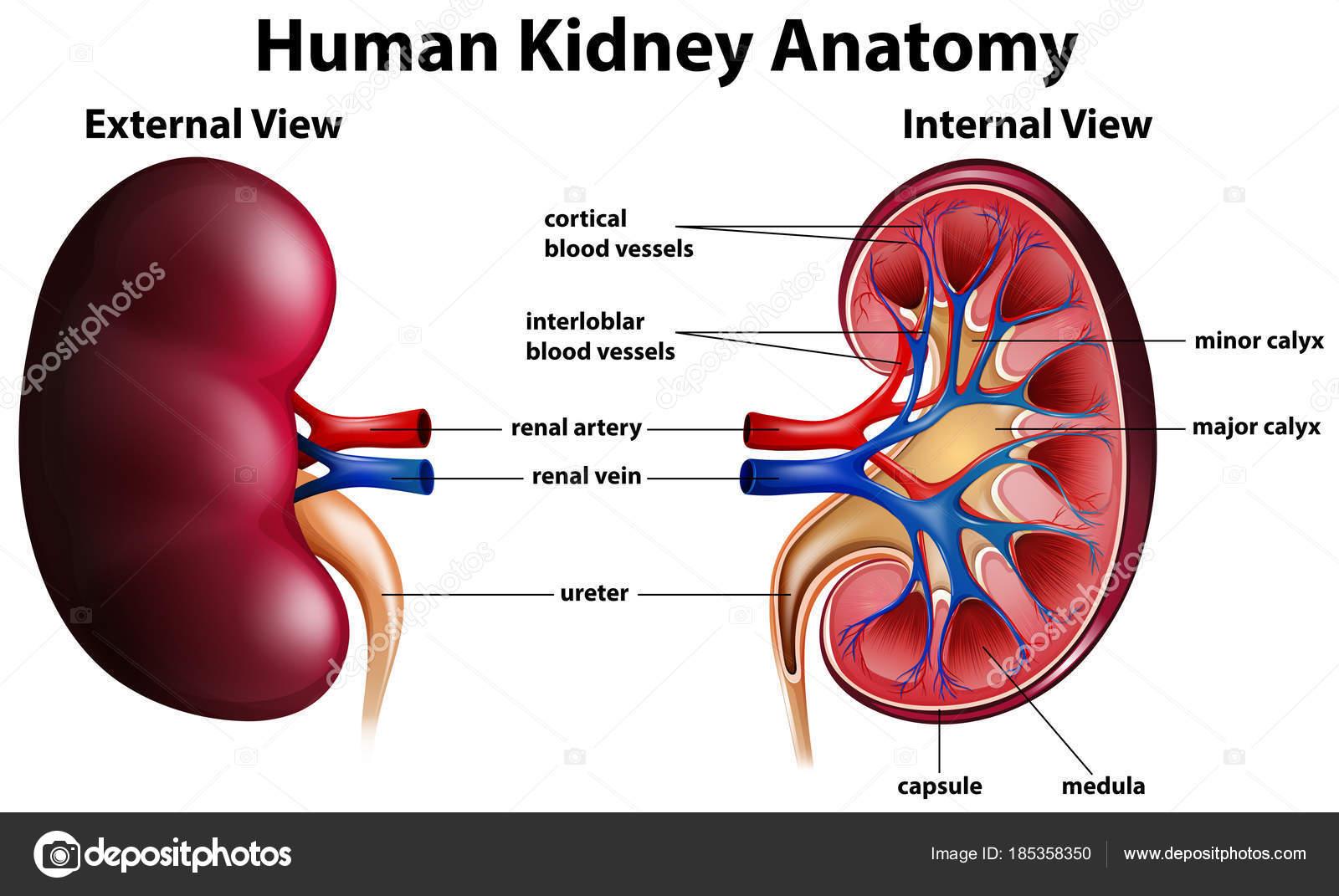 Schematische Darstellung der Anatomie der menschlichen Niere ...