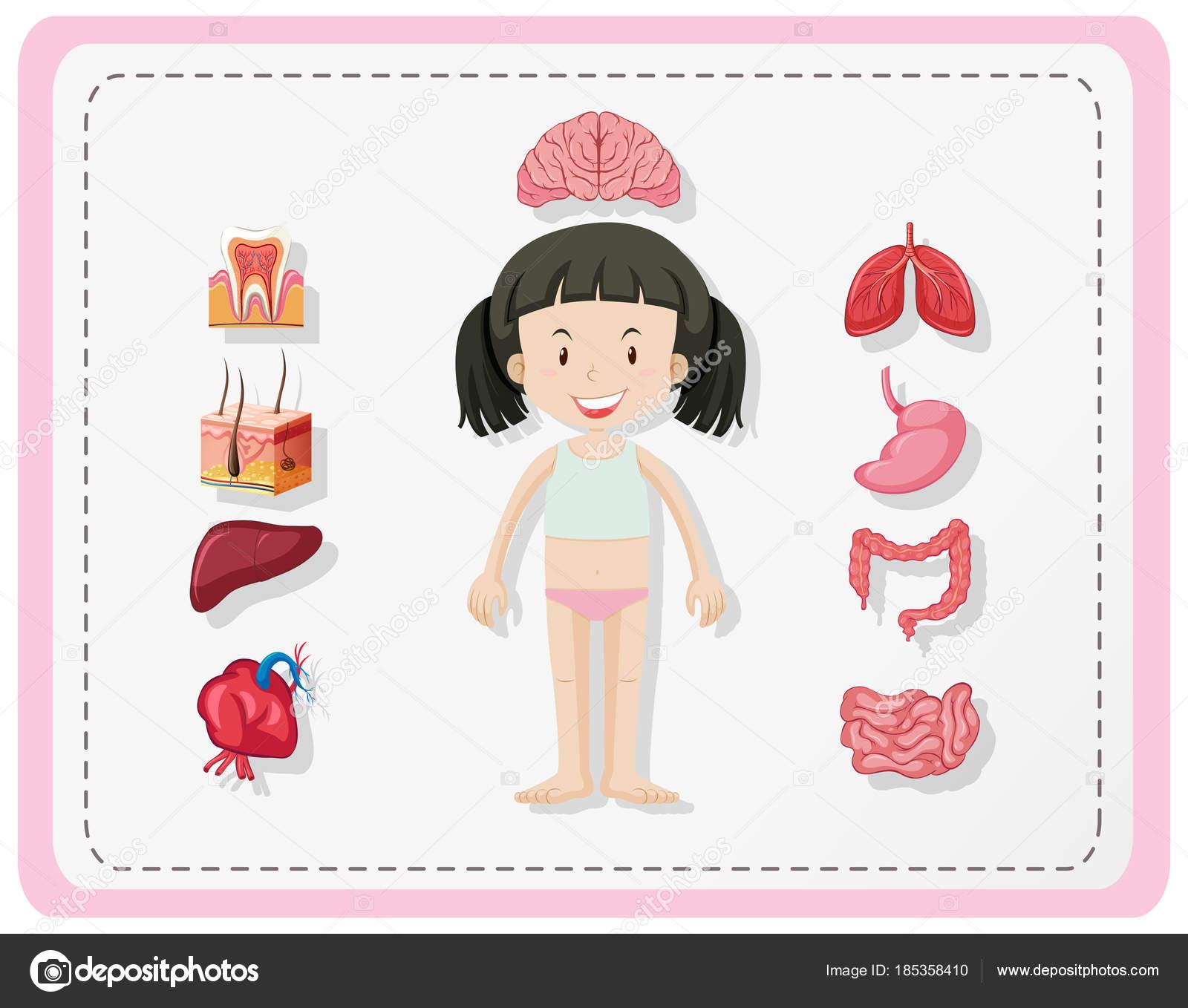 Diagrama que muestra partes humanas de niña — Vector de stock ...