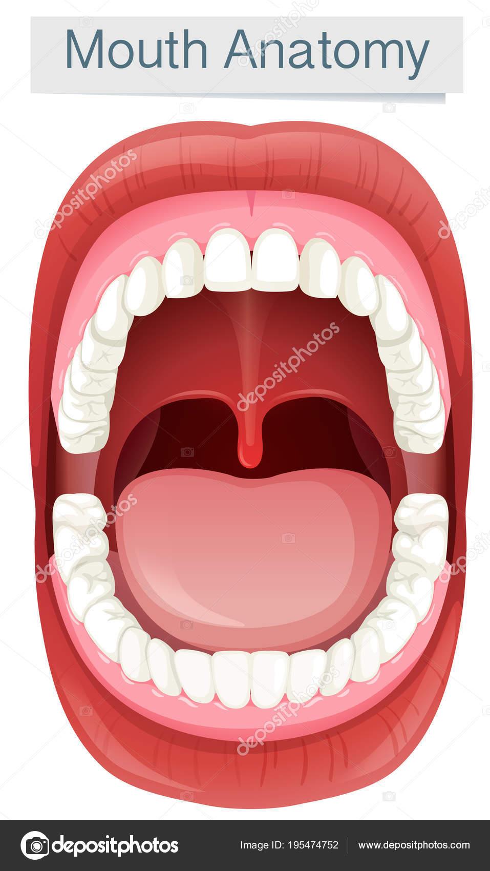 Anatomie der menschlichen Mund auf weißem Hintergrund — Stockvektor ...