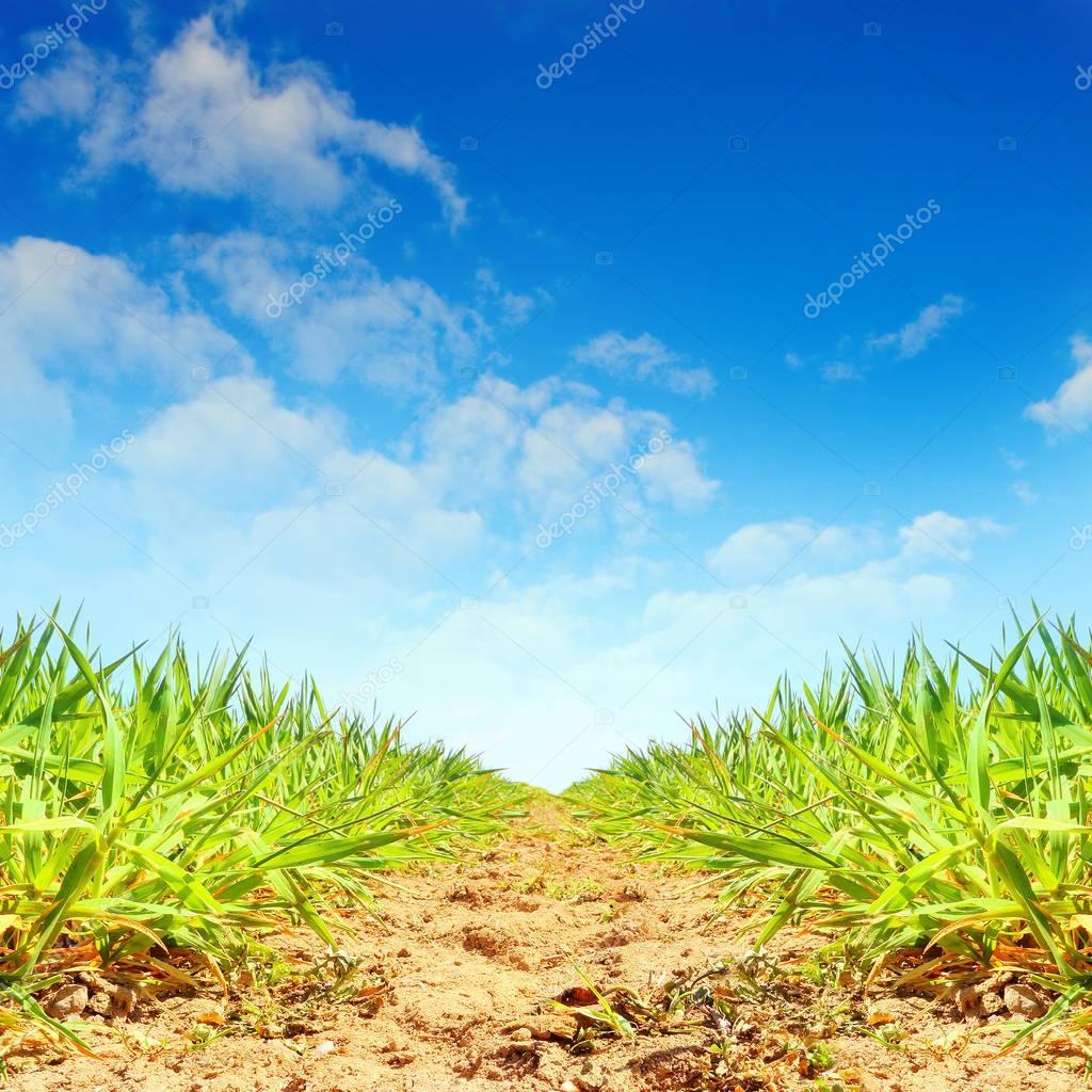 Plantation of sugar cane