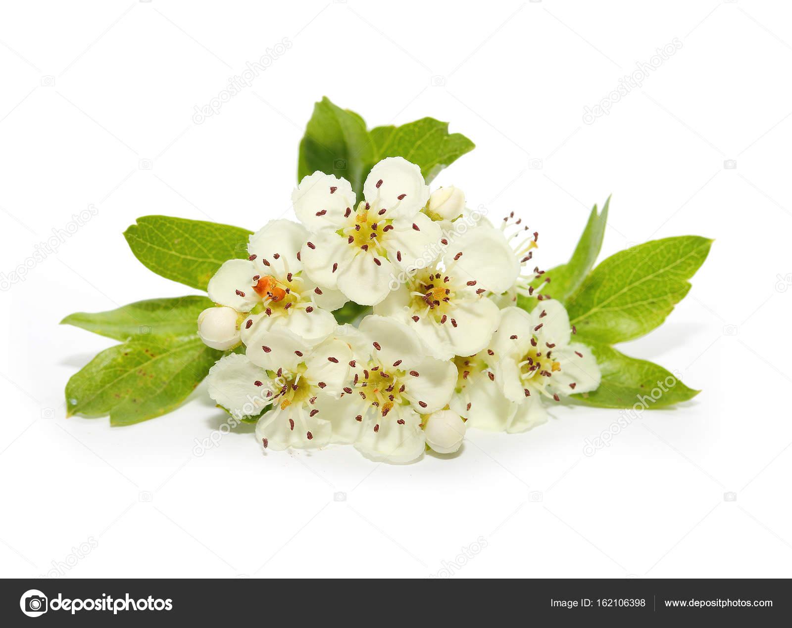 The Hawthorn Flower Isolated On White Stock Photo Vladvitek