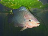 Tilapie ryby pod vodou