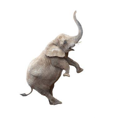 African elephant balancing.