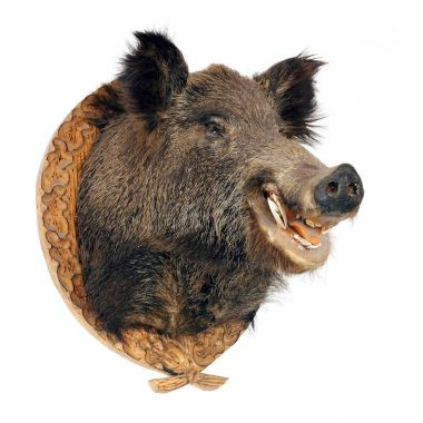 Wild boar - Sus scrofa head isolated on a white