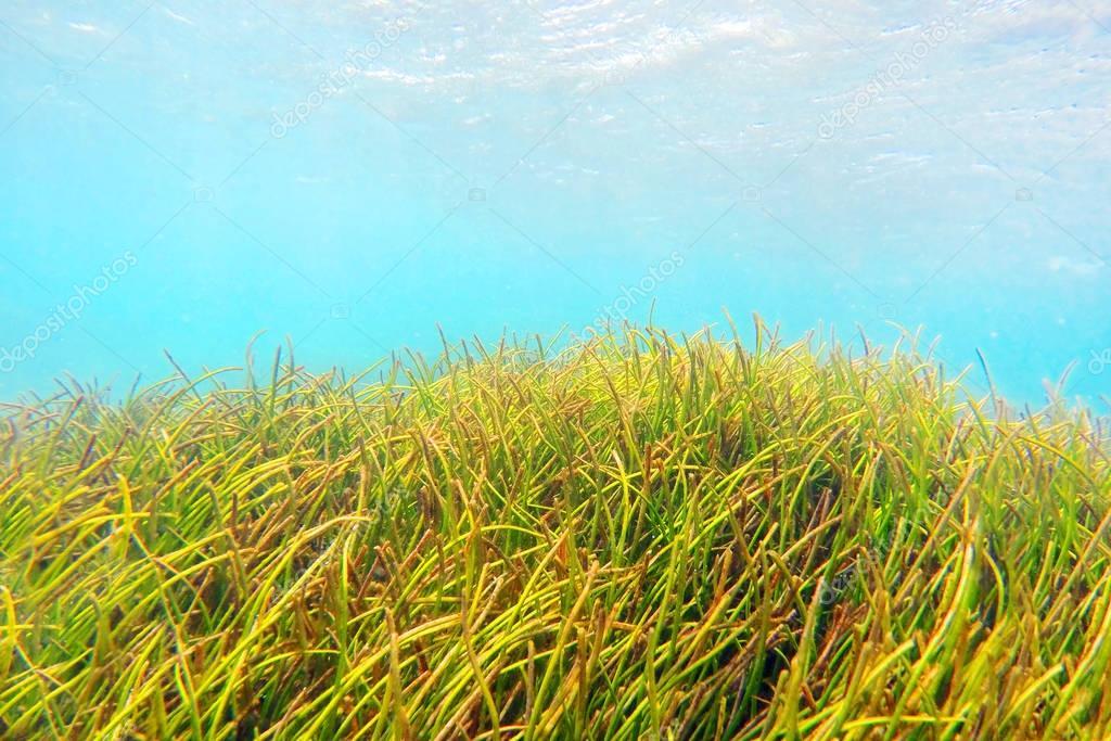 Underwater plantation of sea weed near Reunion Island coast