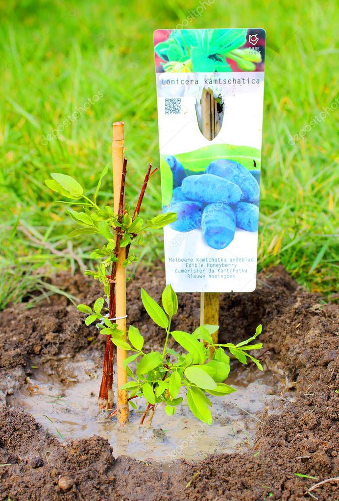 Seedling of The Edible Honeyberry Lonicera Kamtschatica