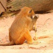 Fotografie Die Gelada Pavian-Ansicht