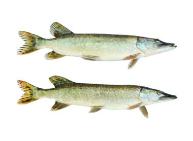 Two The Northern Pike