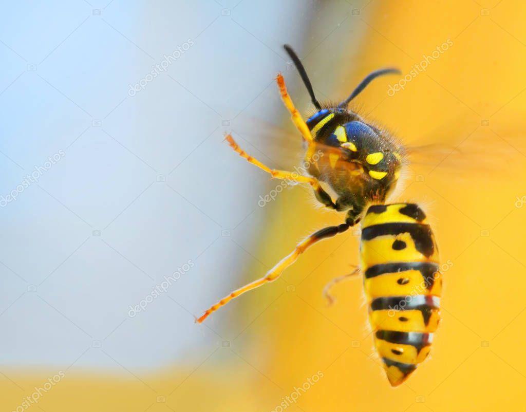 The Wasp - Vespula Germanica