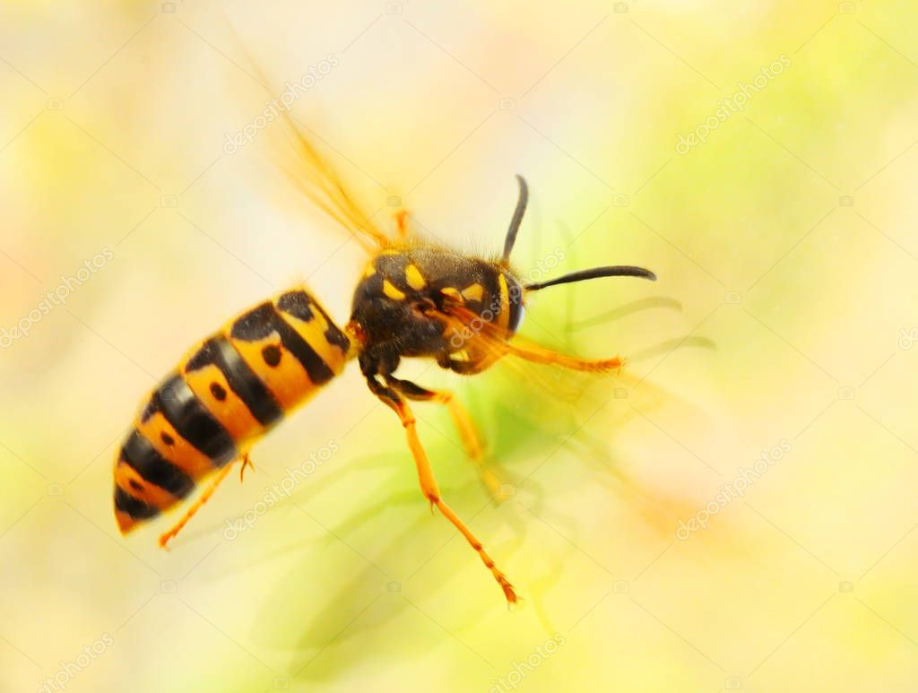 The Wasp - Vespula Germanica