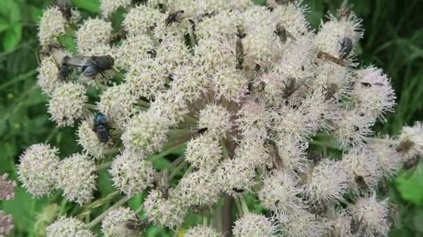 lot of insects on a wild angelica plant (Angelica sylvestris).