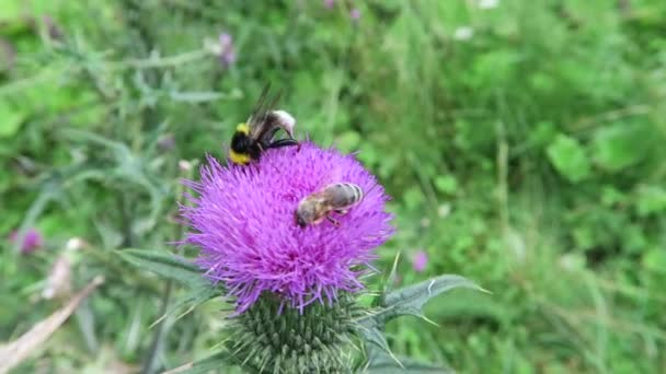 purple thistle with insects like bee and hoverfly.