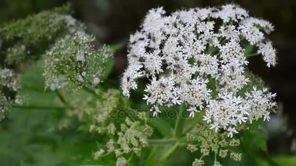 Bílý květ květ Angelica. jedná o vytrvalé byliny s flys