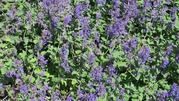 jaro. modrá šanta záhonu v květu.