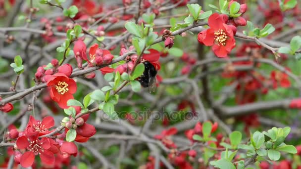 red Chaenomeles bush in blossom.