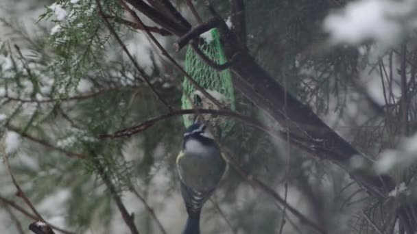Eurasian blue tit (Cyanistes caeruleus) feeding on bird feeder in winter