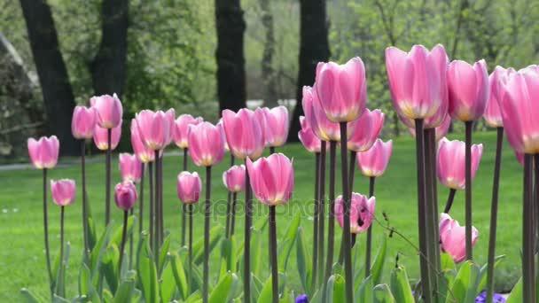 květy růžové tulipány. trochu větru.