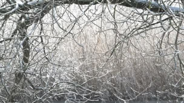 melting ice falling down from twigs of a willow tree. winter time. Havelland (Brandenburg, Germany)