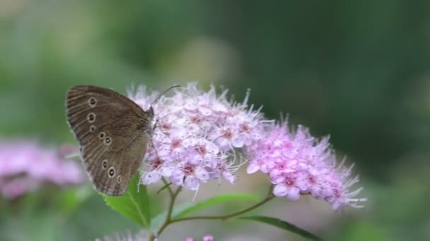 Ringlet Butterfly (Aphantopus hyperantus) on a flower head of a bush