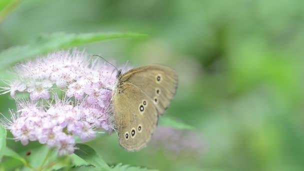 Prstenec Butterfly (Aphantopus hyperantus) na květu keř
